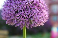 Flor púrpura con una abeja Fotos de archivo libres de regalías