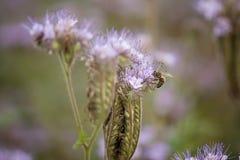 Flor púrpura con una abeja Foto de archivo libre de regalías