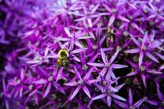 Flor púrpura de Christophii del allium Fotos de archivo libres de regalías