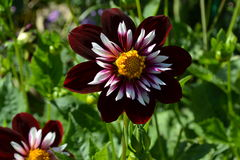 Flor púrpura de Georgeous en jardín del ` s de Monet Imagen de archivo libre de regalías