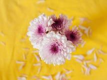 Flor púrpura de Gerber en fondo amarillo Foto de archivo
