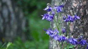Flor púrpura de la aguileña en jardín Foto de archivo