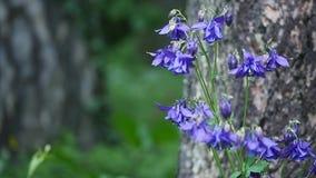 Flor púrpura de la aguileña en jardín Imagenes de archivo