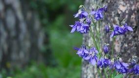 Flor púrpura de la aguileña en jardín Foto de archivo libre de regalías