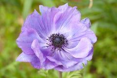 Flor púrpura de la anémona Fotos de archivo libres de regalías