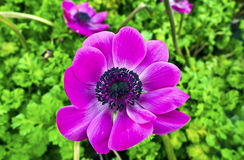 Flor púrpura de la anémona Imagen de archivo libre de regalías