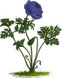 Flor púrpura de la anémona. Vector Foto de archivo libre de regalías