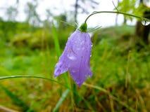 Flor púrpura de la campánula con descensos del rocío de la mañana Imagenes de archivo