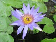 Flor púrpura de la charca de la fauna fotografía de archivo