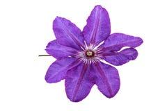 Flor púrpura de la clemátide Fotografía de archivo