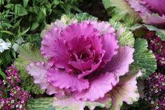 Flor púrpura de la col Fotos de archivo libres de regalías