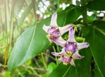 Flor púrpura de la flor de la corona del gigantea de Calotropis que resuena en árbol imagenes de archivo
