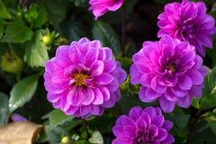 Flor púrpura de la dalia Imagenes de archivo