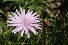 Flor púrpura de la hierba del ` s de la víbora - escorzonera Purpurea L Rosea Nyman Foto de archivo libre de regalías