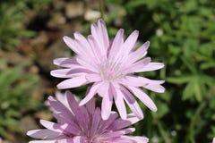 Flor púrpura de la hierba del ` s de la víbora - escorzonera Purpurea L Rosea Nyman Fotografía de archivo libre de regalías