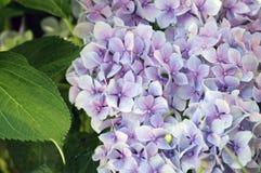 Flor púrpura de la hortensia con las hojas verdes Fotos de archivo