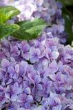 Flor púrpura de la hortensia con las hojas verdes Fotografía de archivo libre de regalías