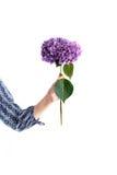 Flor púrpura de la hortensia en la mano de la mujer en blanco Fotografía de archivo libre de regalías