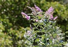 Flor púrpura de la lila de la mariposa de Swallowtail imagen de archivo libre de regalías