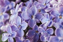 Flor púrpura de la lila de la primavera del flor hermoso de la fragancia fotografía de archivo