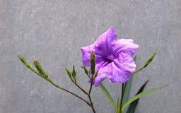 Flor púrpura de la lluvia contra la pared gris Imagenes de archivo