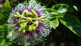Flor púrpura de la macro del kiwii Fotos de archivo