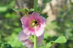 Flor púrpura de la malva con una abeja Foto de archivo libre de regalías