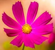 Flor púrpura de la margarita Imagenes de archivo