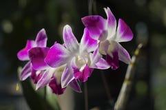 Flor púrpura de la orquídea Imagen de archivo libre de regalías