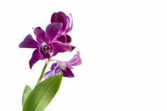 Flor púrpura de la orquídea de la mariposa Imagen de archivo libre de regalías
