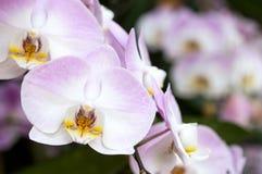 Flor púrpura de la orquídea del Phalaenopsis Imágenes de archivo libres de regalías