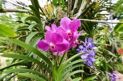 Flor púrpura de la orquídea en jardín Imágenes de archivo libres de regalías