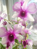 Flor púrpura de la orquídea en ventana Fotos de archivo