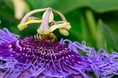 Flor púrpura de la pasión - pasionaria - con la abeja Fotografía de archivo libre de regalías