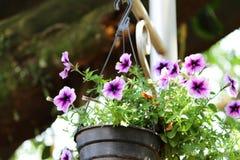 Flor púrpura de la petunia en potes foto de archivo libre de regalías