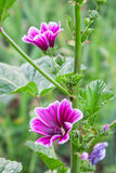 Flor púrpura de la primavera Fotografía de archivo