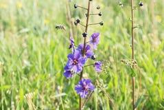 Flor púrpura de la primavera en el fondo verde al aire libre Fotos de archivo libres de regalías