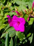 Flor púrpura de la primavera en el sol 4k Imagenes de archivo