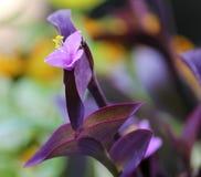 Flor púrpura de la reina Fotografía de archivo libre de regalías