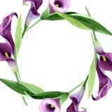 Flor púrpura de las calas de la acuarela Flor botánica floral Cuadrado del ornamento de la frontera del capítulo ilustración del vector