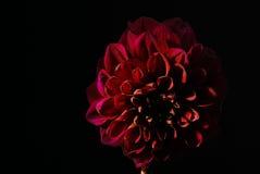 Flor púrpura de las dalias en fondo negro Fotografía de archivo