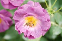 Flor púrpura de las rosas en un jardín Imagen de archivo