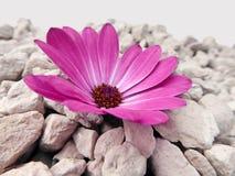 Flor púrpura de Marguerite Daisy del cabo con las piedras Imagen de archivo