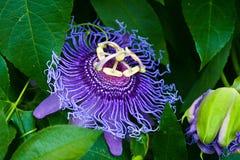 Flor púrpura de Maypop imágenes de archivo libres de regalías