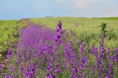 Flor púrpura de Solated delante de un campo largo las mismas flores foto de archivo libre de regalías