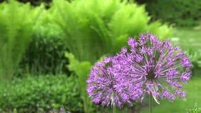 Flor púrpura decorativa del ajo en jardín Cambio del foco 4K metrajes