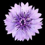 Flor púrpura del aciano aislada en fondo negro Imagenes de archivo