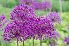 Flor púrpura del allium Imagenes de archivo