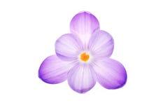 Flor púrpura del azafrán imágenes de archivo libres de regalías