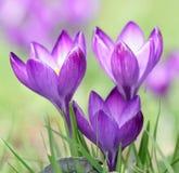 Flor púrpura del azafrán Foto de archivo